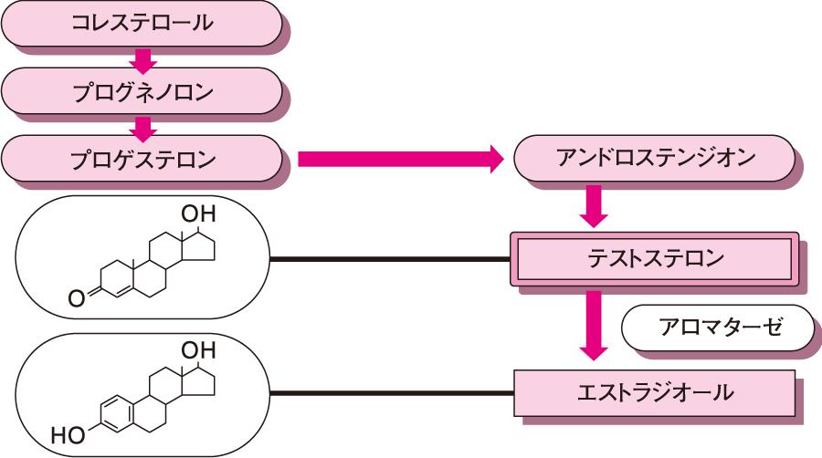 性腺ステロイドの生合成経路