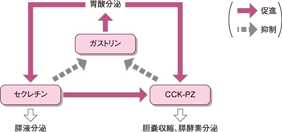 三大消化管ホルモンの相互作用