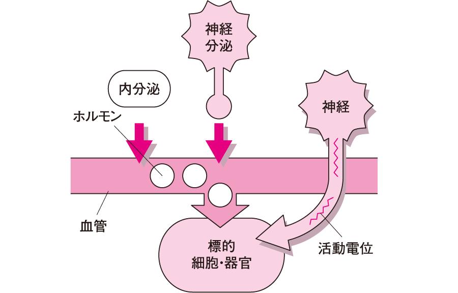 内分泌と神経の情報伝達