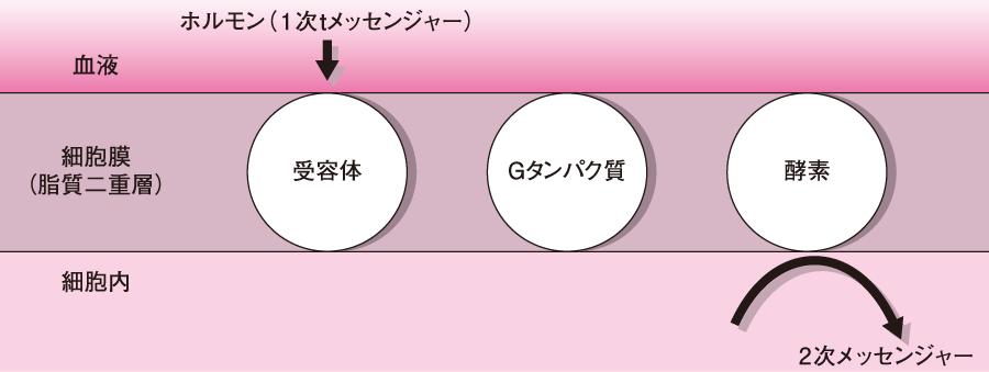 受容体、酵素およびGタンパク質の連携