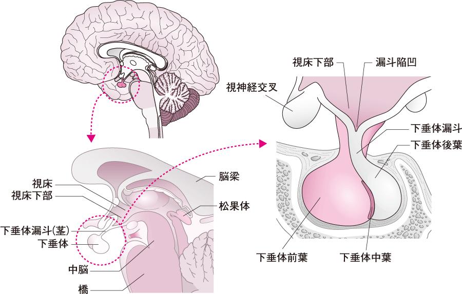 下垂体の位置と形