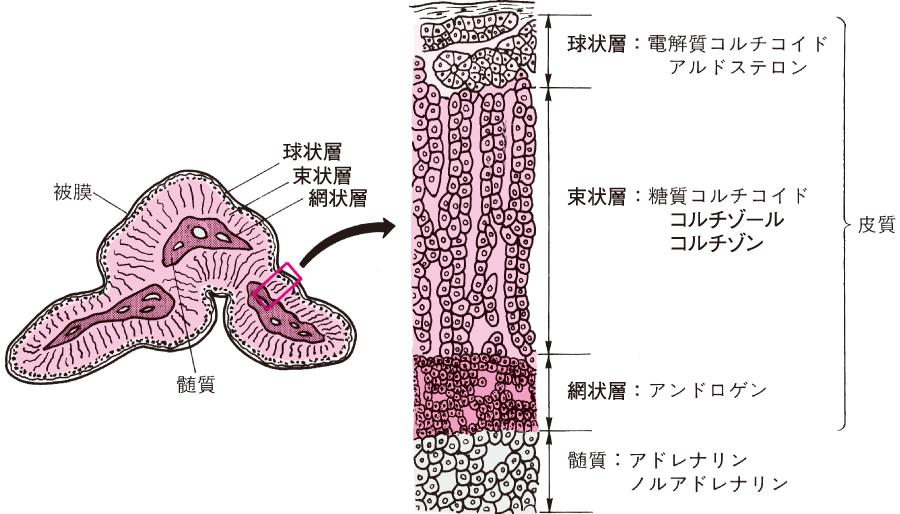 副腎の構造