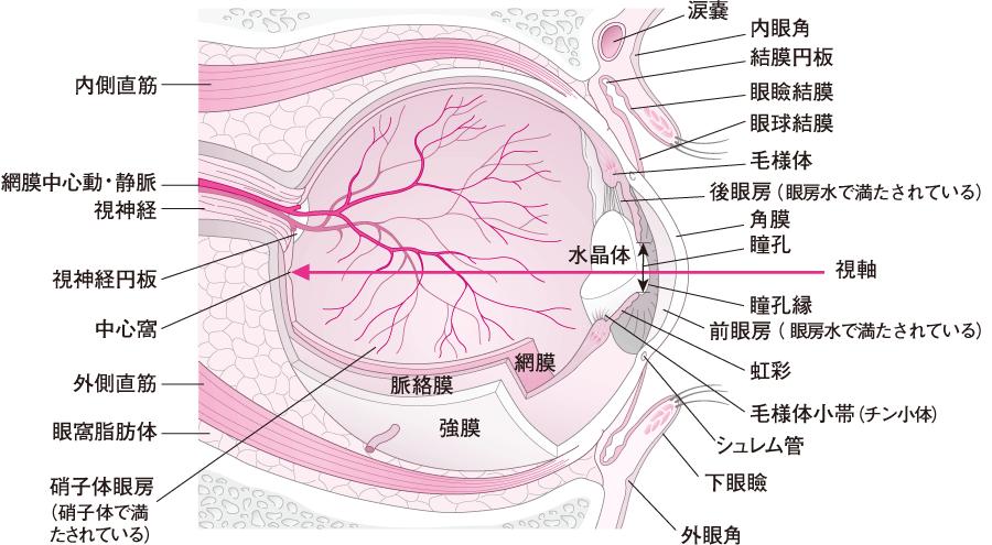 眼窩とその内容の矢状断面