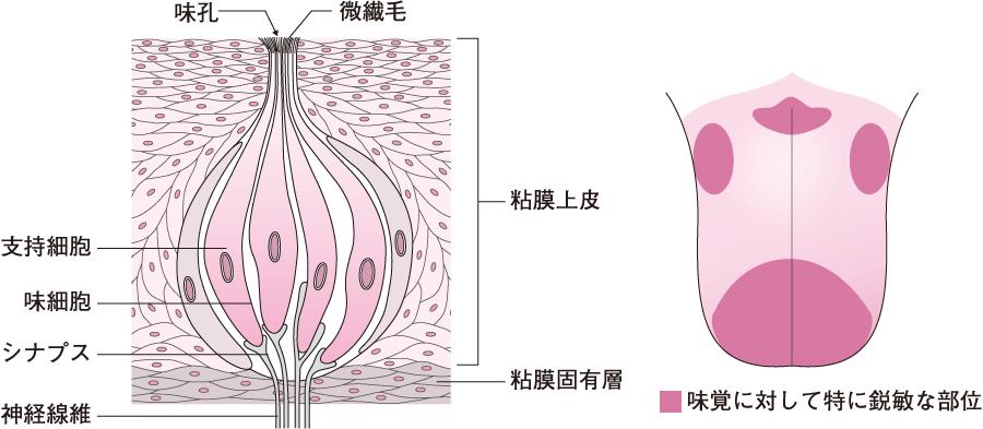 味蕾の構造