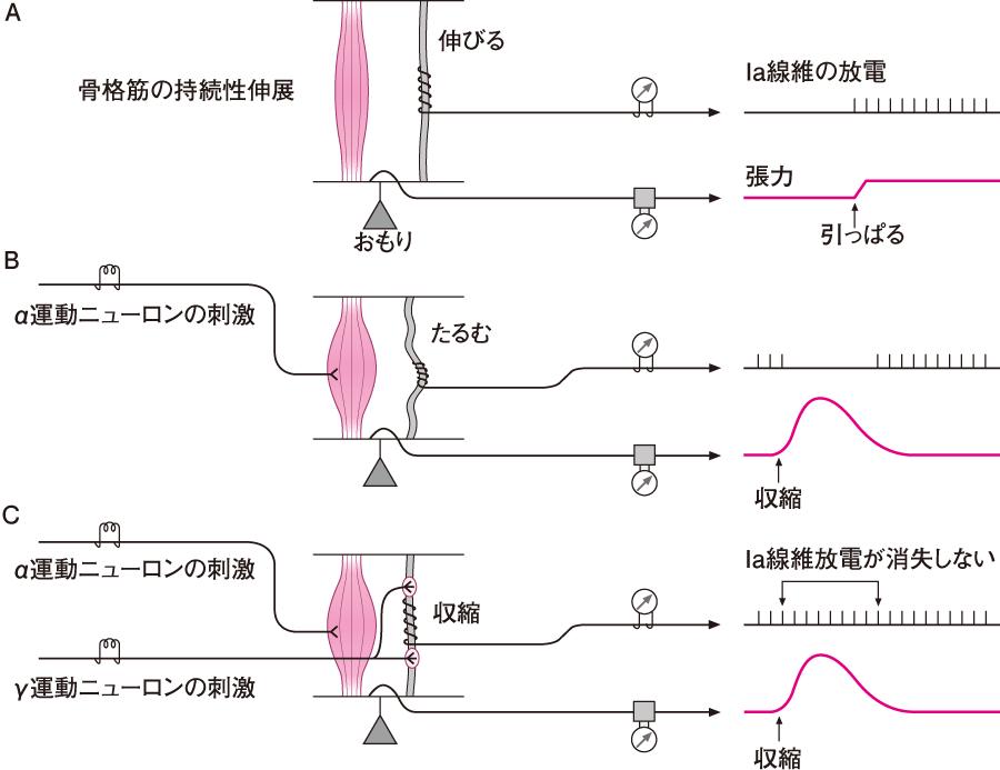筋のα-γ連関
