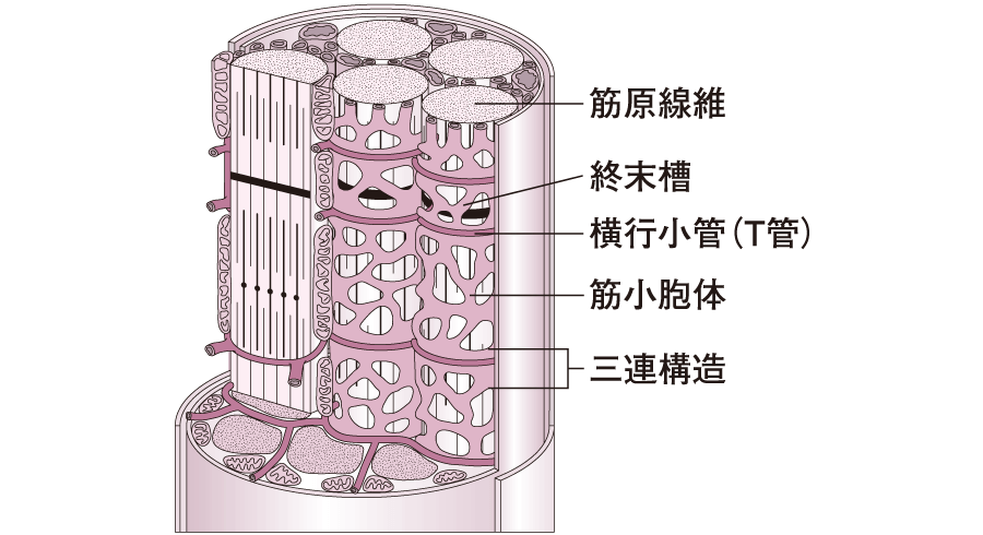 筋小胞体と横行小管(T管)