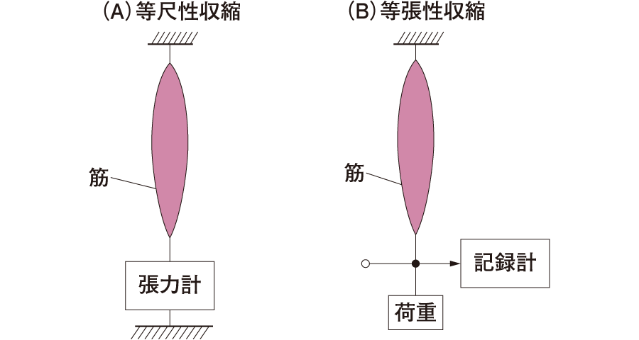 等尺性収縮(A)と等張性収縮(B)