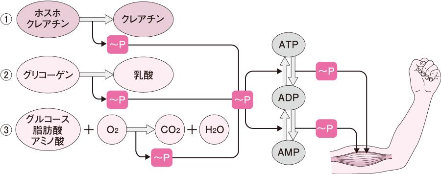 筋収縮の主要なエネルギーの補充系?