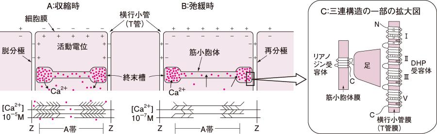 骨格筋の興奮収縮連関