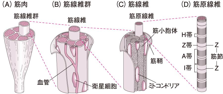 筋肉の微細構造