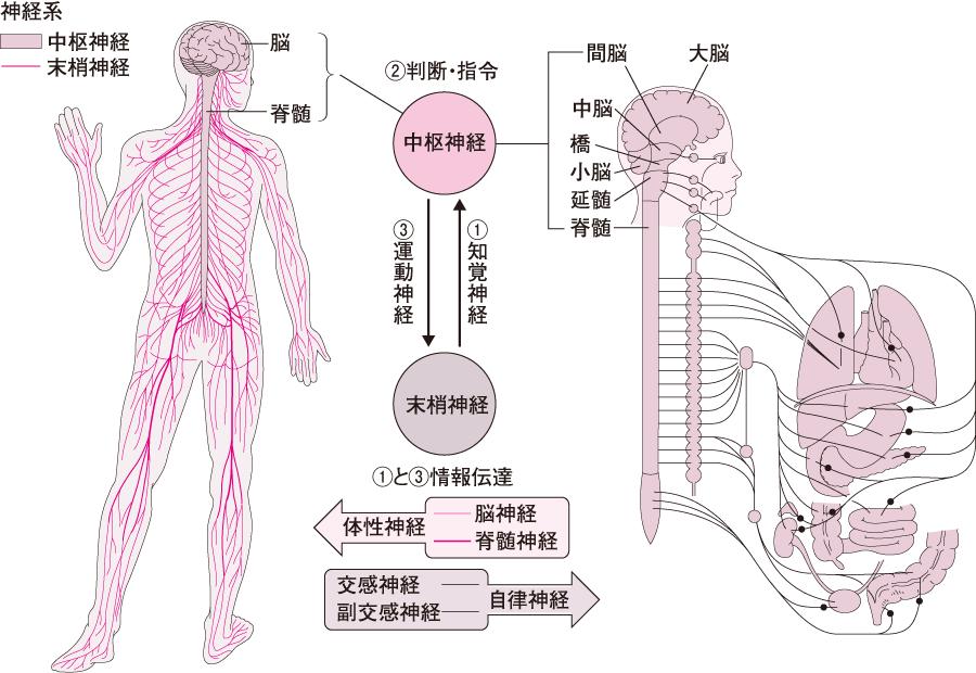 神経系のしくみ─中枢神経系と末梢神経系