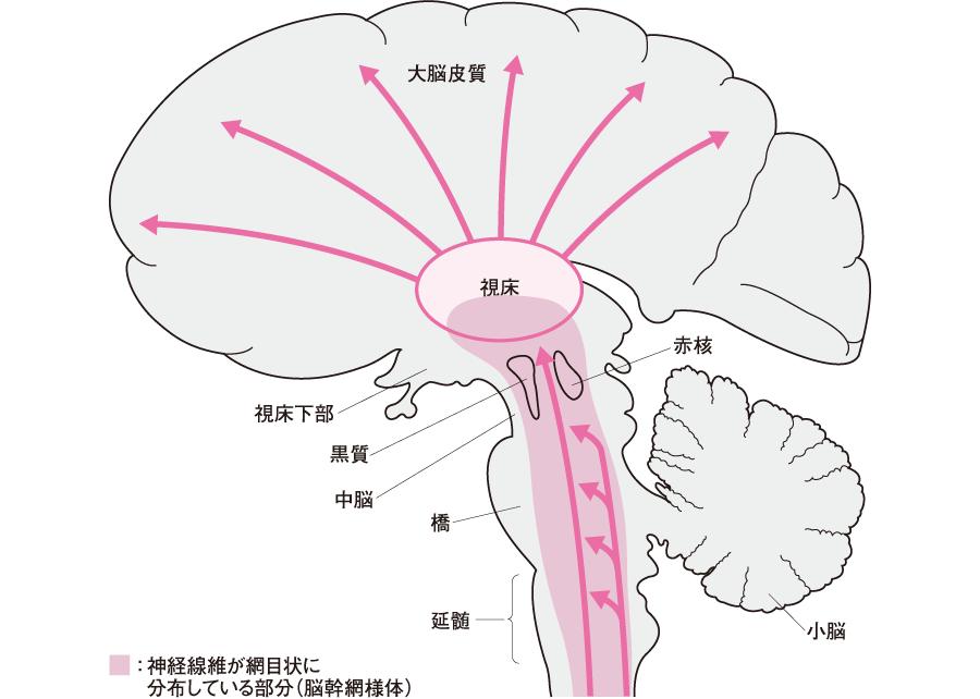 脳幹網様体と上行性網様賦活系