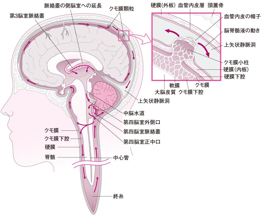 脳および脊髄と髄液の流れ