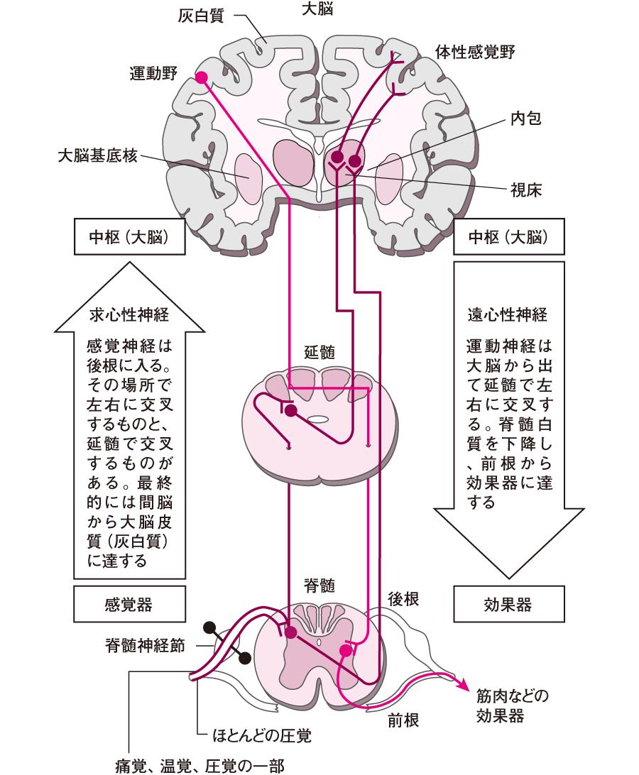 感覚情報の伝達