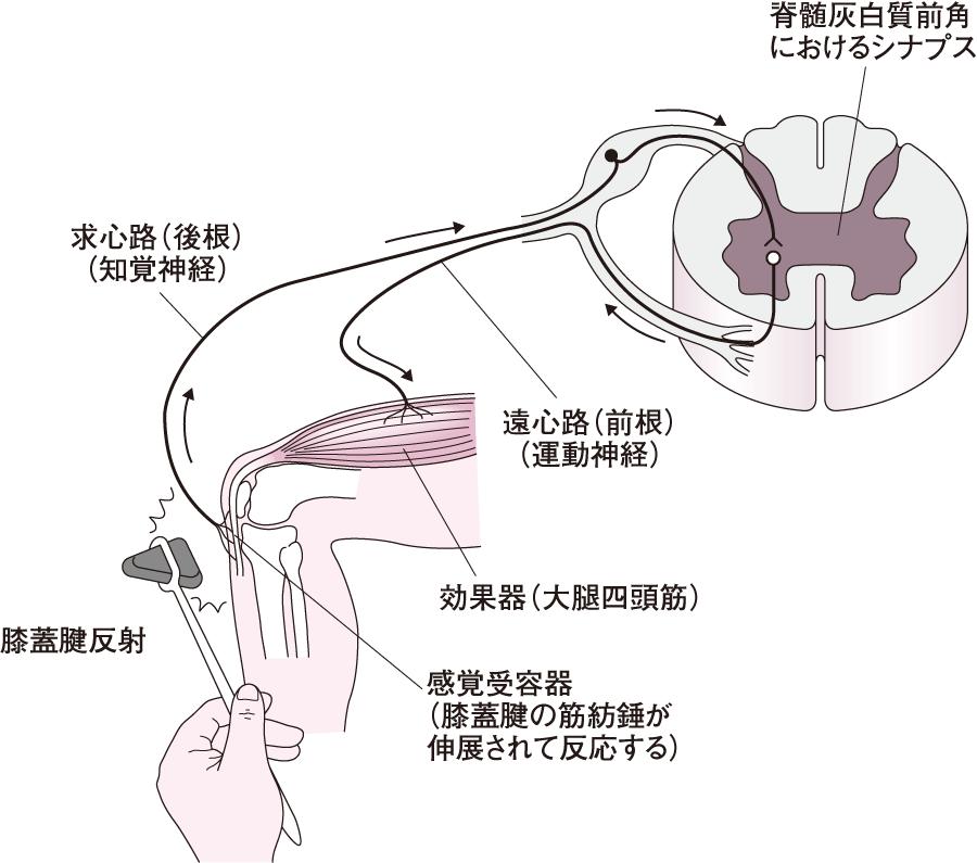 膝蓋腱反射