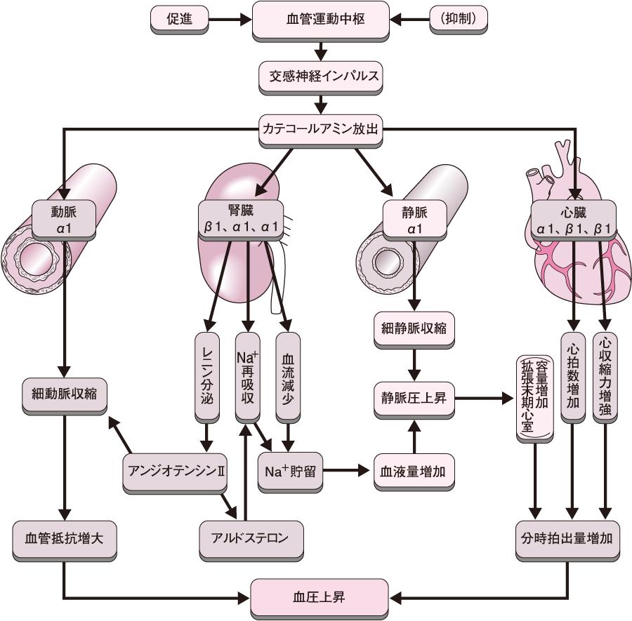 交感神経系の血圧調節
