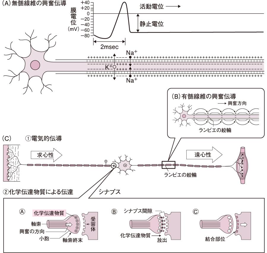 神経線維の興奮伝導