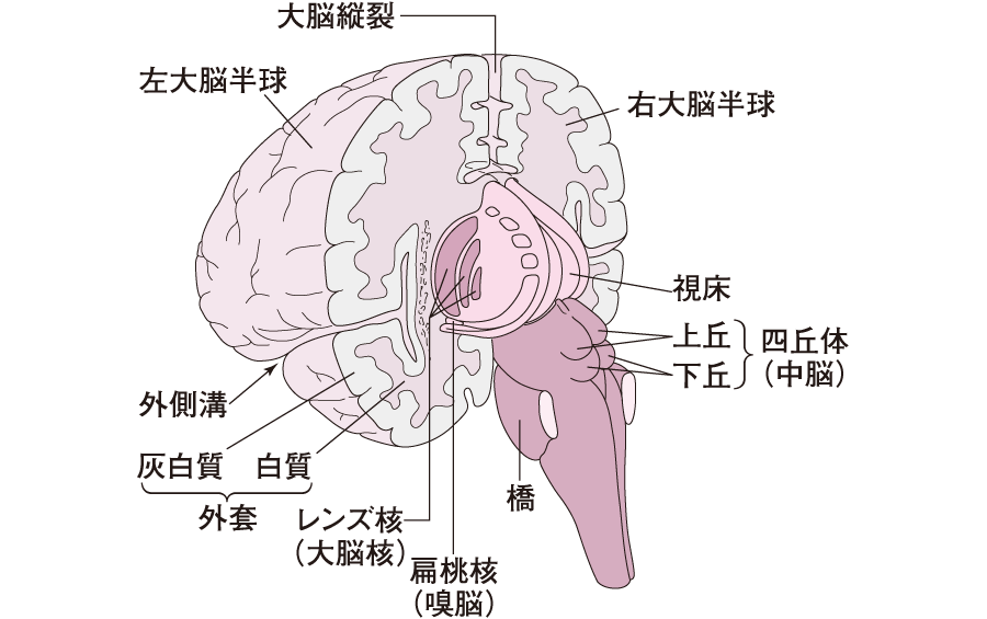 灰白質と白質 中枢神経系|神経系の機能|看護roo![カンゴルー] 看護roo!(カンゴルー)