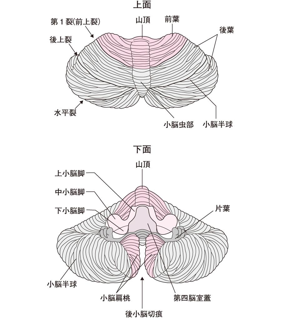 小脳(上面と下面)