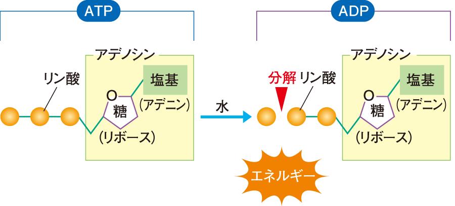 ATPの構造と加水分解