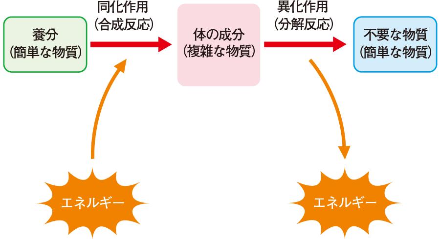 代謝のプロセス