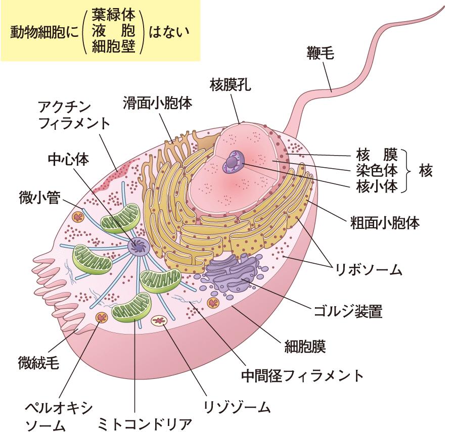 動物細胞の構造