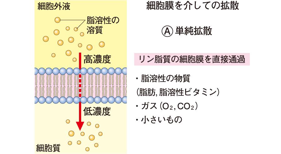 細胞膜を介しての拡散・単純拡散