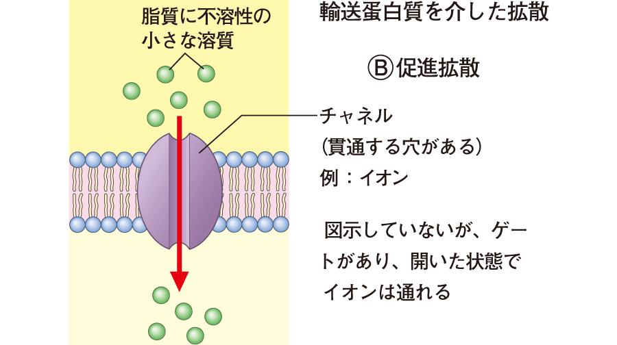 輸送蛋白質を介した拡散・促進拡散