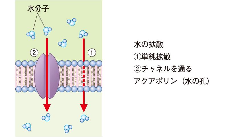 水の拡散・アクアポリン