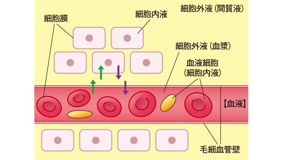 細胞と間質液(組織液)、血管