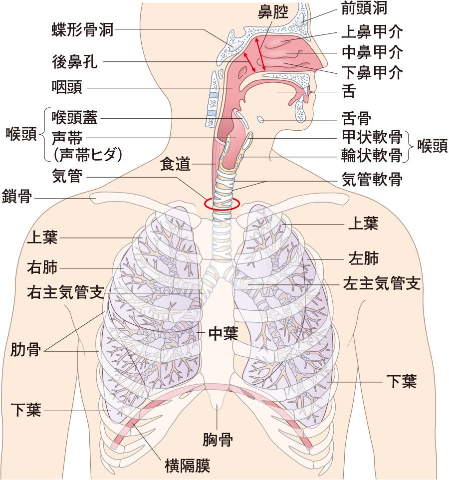 呼吸器系の全景
