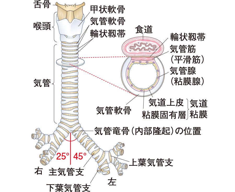 気管と気管支の構造