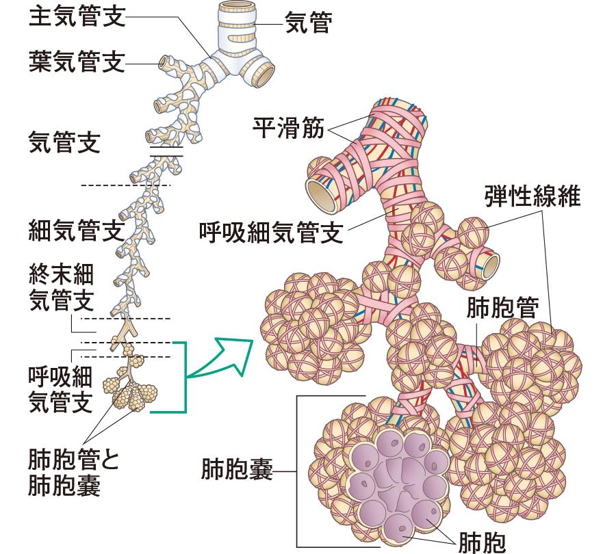 肺胞の構造