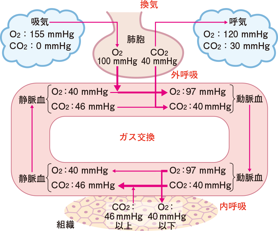 肺胞と組織におけるガス交換