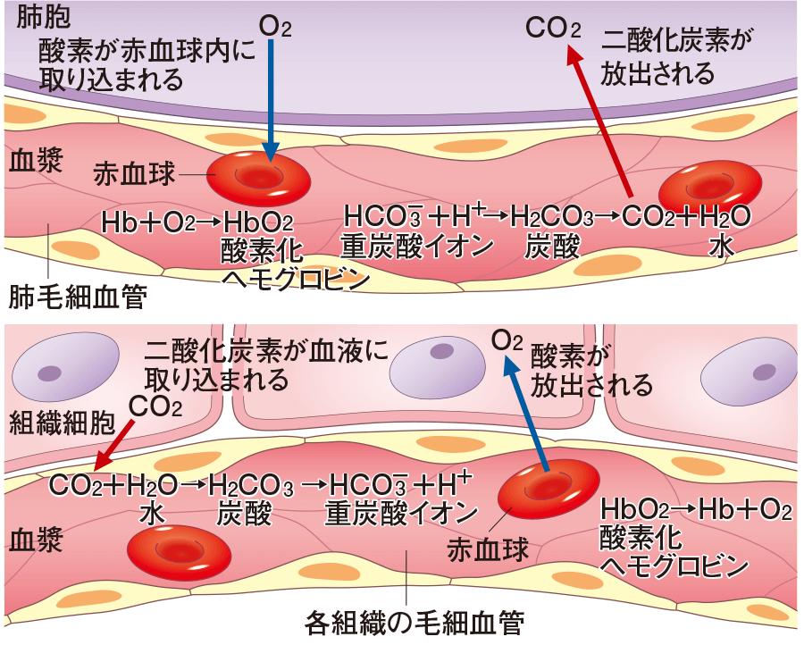 酸素と二酸化炭素の移動と運搬