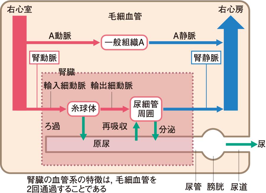 腎臓の血管