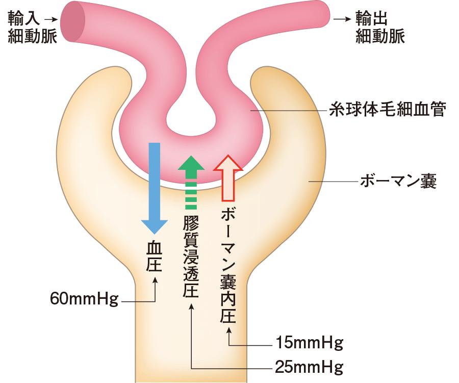ネフロンと尿の生成|身体のしく...