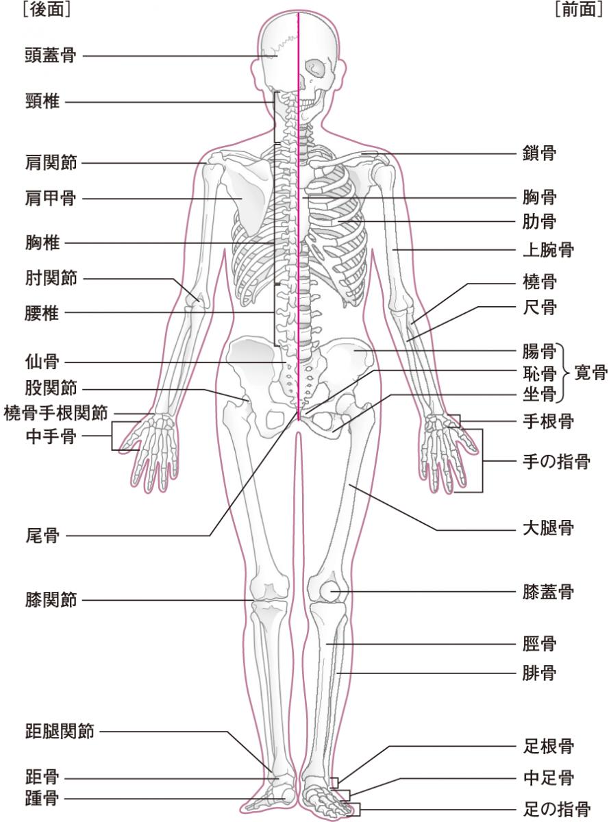 動作を支える骨と筋肉、関節|身...