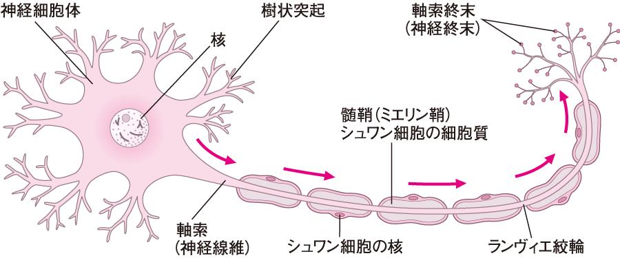 神経細胞〔ニューロン(矢印は電気信号の流れを示す)〕