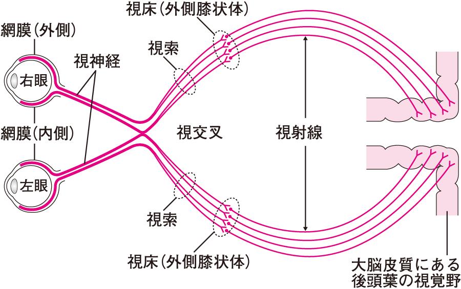 視神経の情報伝達