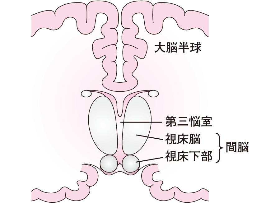 間脳の視床・視床下部