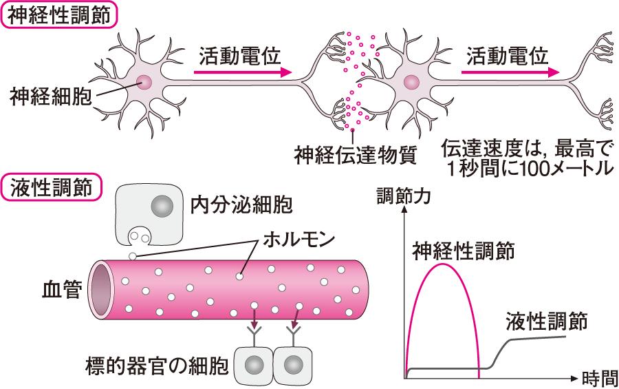恒常性維持のための調節機構、液体調節と神経性調節