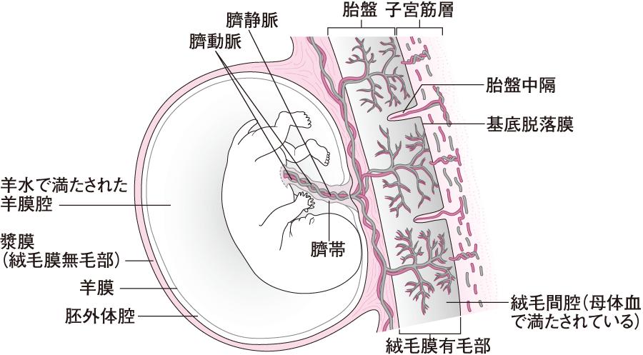 胎児と胎盤