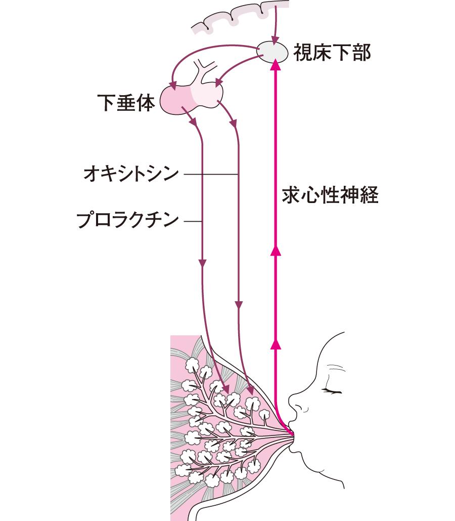 乳汁分泌とホルモン