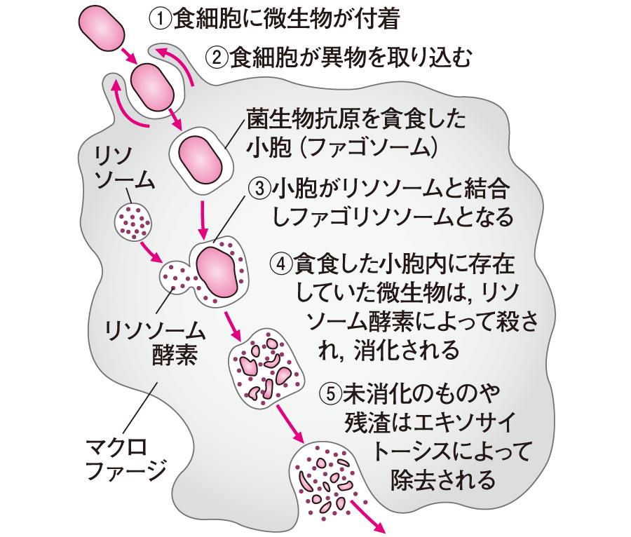 マクロファージによる食作用