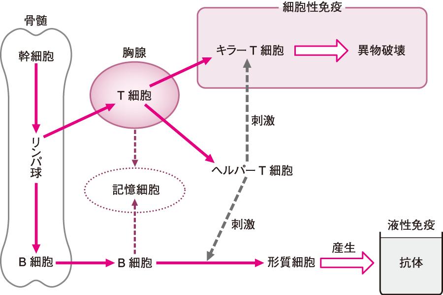 リンパ球の分化・成熟と役割