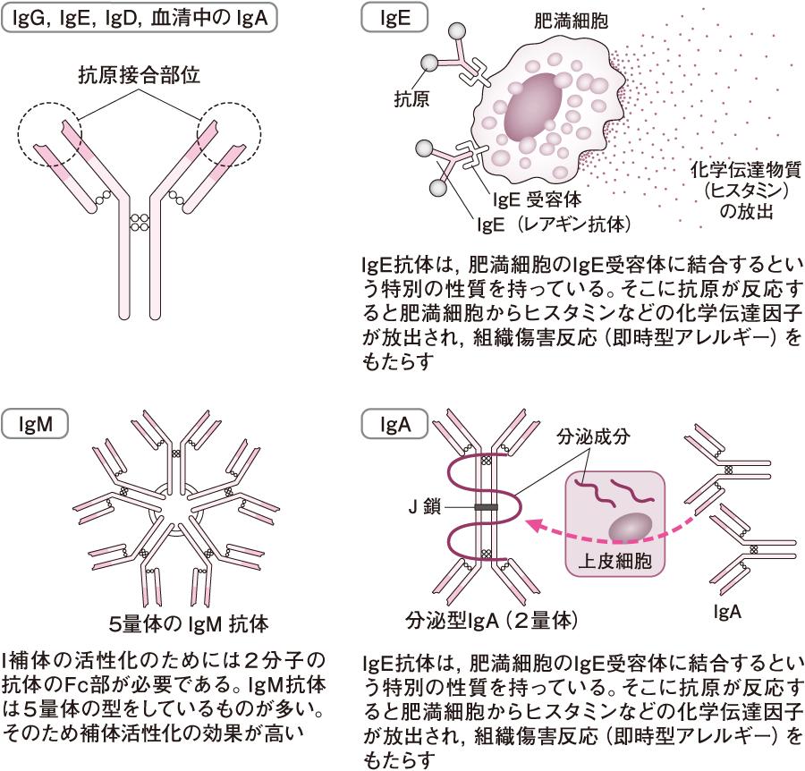 免疫グロブリンの種類
