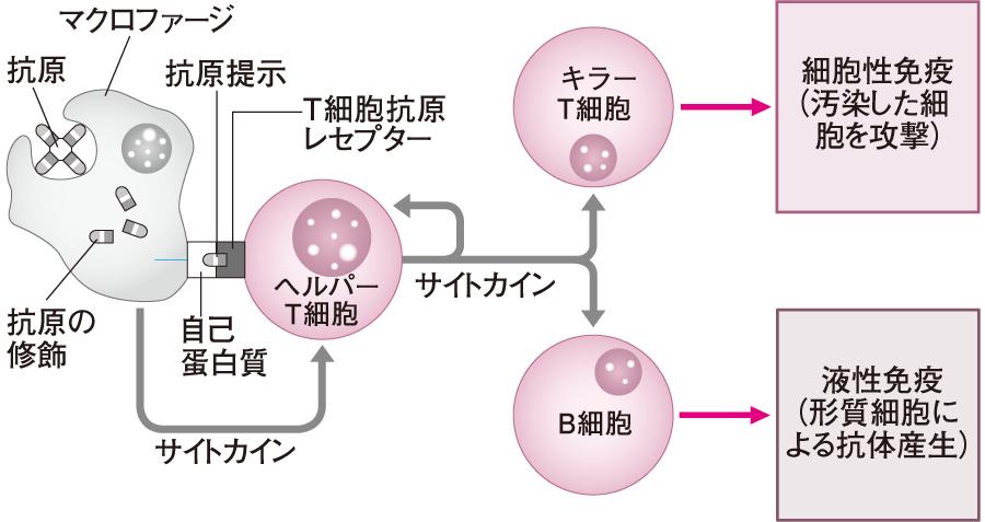 マクロファージの抗原提示とヘルパーT細胞の役割
