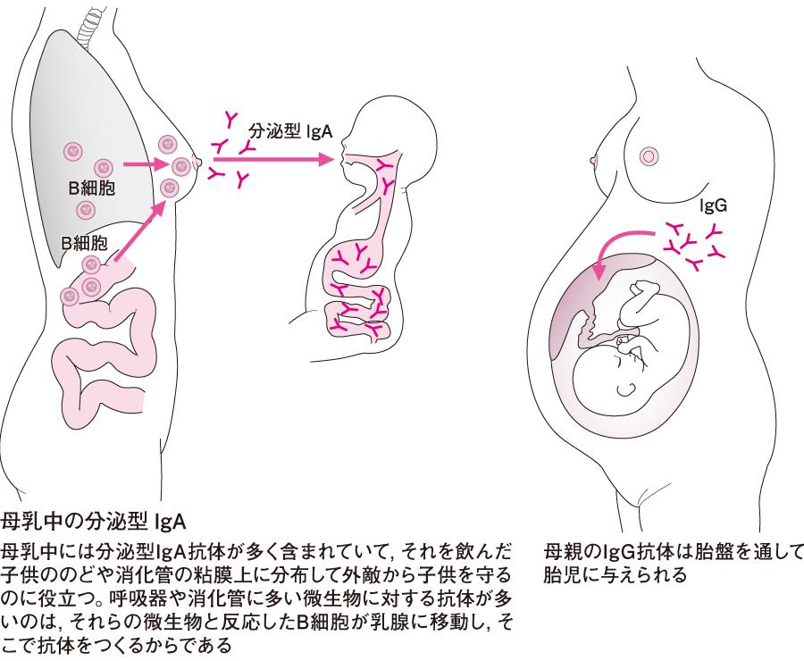 母子間の免疫