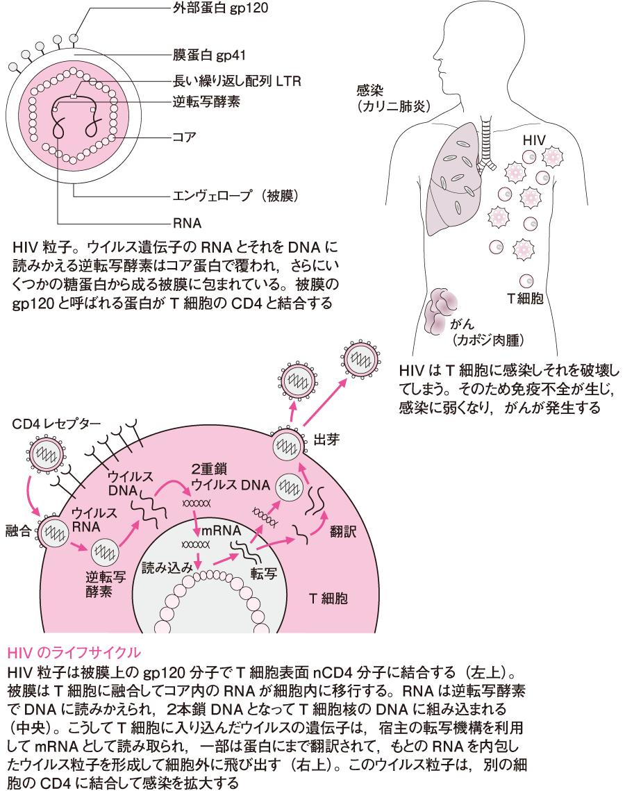 後天性免疫不全症候群(AIDS)発症の機序
